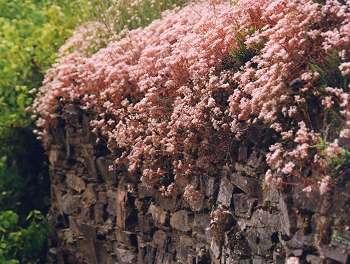 Roter Mauerpfeffer bremm an der mosel in der calmont region mehr als 40